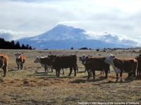 Cattle in pasture